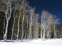 Aspen on Casper Mountain in Winter Royalty Free Stock Photos