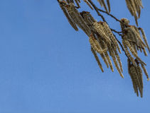 Aspen catkins against the blue sky. Stock Photography