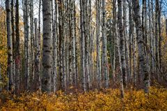 Aspen Clone en otoño imagenes de archivo