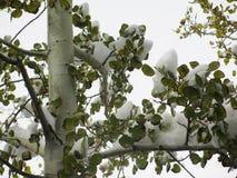 Aspen coberto de neve imagem de stock