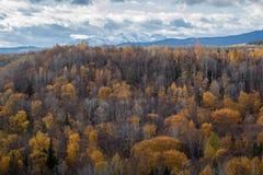 Aspen colorido y tops Spruce imagenes de archivo