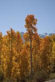 Aspen colors Royalty Free Stock Photos
