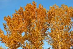 Aspen crown in golden autumn foliage Stock Image