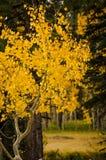 Aspen da vuelta a amarillo brillante en la caída fotografía de archivo