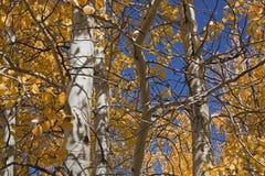 Aspen dans des couleurs d'automne Photographie stock