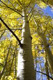 Aspen dans l'automne photo stock