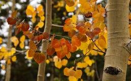 Aspen dans la couleur d'automne photographie stock