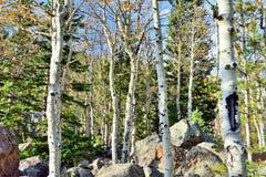 Aspen dans la forêt alpine Images libres de droits