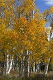 Aspen dorata su Casper Mountain Wyoming Fotografia Stock Libera da Diritti