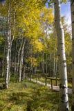 Aspen dorata su Casper Mountain Wyoming Fotografie Stock