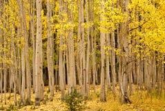 Aspen dourada na queda Imagem de Stock Royalty Free