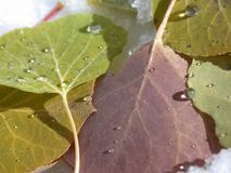 Aspen Dreams. Wonderful Aspen leaves lying in the snow royalty free stock image