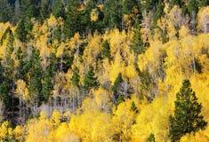 Aspen e miscela dell'albero di Piine Fotografia Stock Libera da Diritti