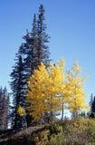 Aspen et arbre Photo libre de droits