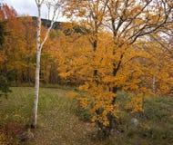 Aspen et bouleau oranges en automne Images stock