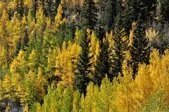 Aspen et pin Photographie stock libre de droits