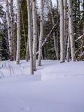 Aspen et pins en hiver Photographie stock libre de droits