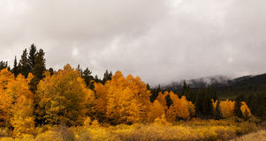 Aspen in Fall Color Royalty Free Stock Photos