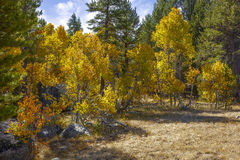 Aspen, Fall Color Royalty Free Stock Photography