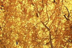 Aspen, Fall Colors 1. Bright colored Aspen leaves in the fall Stock Image
