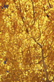 Aspen, Fall Colors. Bright yellow Aspen leaves in the fall Royalty Free Stock Images