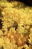 Aspen, Fall Colors 6. Bright colored Aspen leaves in the fall Stock Image