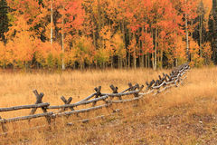 Aspen fenceline in the Wasatch Mountains. Stunning fall aspen background in the Wasatch mountains, USA Stock Photography