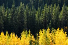 Aspen and fir forests Royalty Free Stock Photo