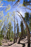 Aspen Forest. Aspen and pine forest distorted by a fisheye lens Stock Photography