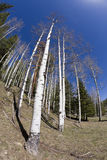 Aspen Forest. Aspen and pine forest distorted with a fisheye lens Royalty Free Stock Image