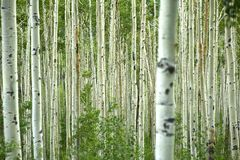 Aspen Forest Royalty Free Stock Photos