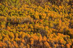 Aspen Forest Stock Images