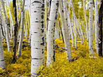 Aspen Forest in Colorado Royalty Free Stock Photo