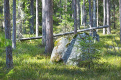 Aspen forest in the early spring in Estonia Royalty Free Stock Photography
