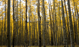 Aspen Forest in Fall #2 Royalty Free Stock Image
