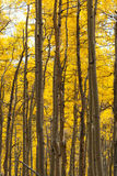 Aspen Forest in Fall Royalty Free Stock Images