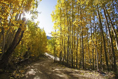 Aspen forest in a fall, Colorado Royalty Free Stock Image
