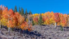 Aspen Forest Hillside royaltyfria foton