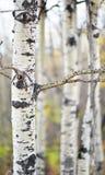 Aspen Forest i nedgången Arkivfoton