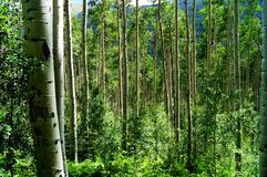 Aspen Forest II. A wider perspective of tall Aspens reaching for the sun Royalty Free Stock Photo