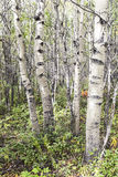 Aspen forest in late summer Royalty Free Stock Photography