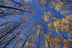Aspen forest leaving the sky stock photo