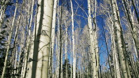 Aspen forest stock video footage