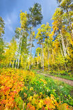 Aspen Forest in New Mexico Stock Images