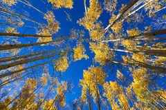 Aspen Forest in New Mexico Royalty Free Stock Image