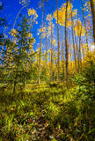 Aspen Forest in New Mexico Royalty Free Stock Images