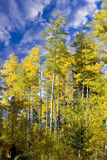 Aspen Forest in New Mexico Stock Image