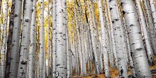 Aspen Forest no mastro Imagens de Stock Royalty Free