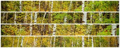 Aspen forest Old camera style with multilens options. Aspen forest Old camera style with multilens options, panoramic Royalty Free Stock Photos