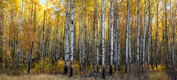 Aspen forest. A panoramic view of a beautiful aspen forest in autumn royalty free stock photography